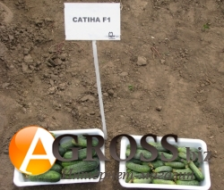 Семена огурца Сатина F1 - фото 3766