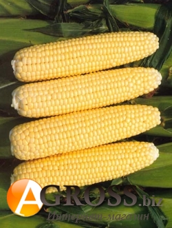 Семена кукурузы Рання Насолода F1 2500 шт - фото 3799