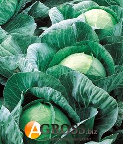 Семена капусты Вестри F1 2500 шт - фото 3959