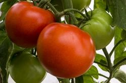 Семена томата Корвинус F1 500 шт - фото 5544