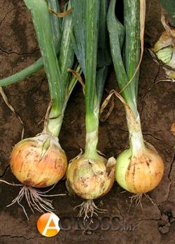 Семена лука озимого Августа 1 кг (SEMO) - фото 5647