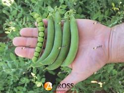 Семена гороха Оскар  1 кг  (SEMO) - фото 5660