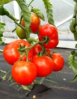 Семена томата Дебют F1 1000 шт - фото 6489