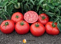 Семена томата Томск F1  - фото 8163