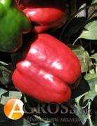 Семена перца Красный Рыцарь X3R F1 500 шт