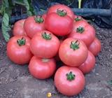 Семена томата Демироса F1 500 шт