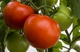 Семена томата Корвинус F1 500 шт