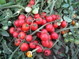 Семена томата - черри Конори F1