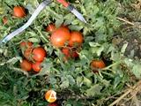 Семена томата Полбиг F1 5 г (~1500 шт)