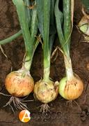 Семена лука озимого Августа 1 кг (SEMO)