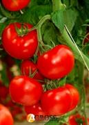 Семена томата Мишель F1 1000 шт