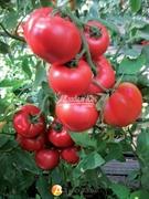Семена томата Ханни Мун F1  250 шт