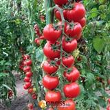 Семена томата - черри Сакура F1 250 шт