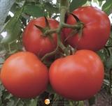 Семена томата Матиссимо F1 250 шт