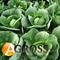 Семена капусты Силима F1 2500 шт - фото 3703