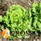 Семена салата Афицион 5 г (5000 шт) - фото 3915