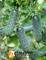 Семена огурца Мадита F1 250 шт - фото 3989