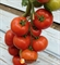 Семена томата Белле F1 500 шт - фото 4019