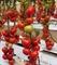 Семена томата Белле F1 500 шт - фото 4020