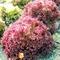 Семена салата Конкорд 1000 шт - фото 5900