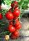 Семена томата Ядвига F1 100 шт - фото 6451