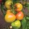 Семена томата Кибо F1  (KS 222  F1)  1000 шт - фото 6807