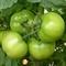 Семена томата Кибо F1  (KS 222  F1)  1000 шт - фото 6808