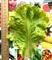 Семена салата Афицион 5 г (5000 шт) - фото 7097