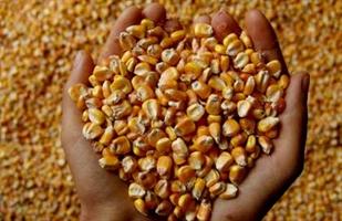 Семена кукурузы кормовой