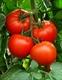 Семена томата красного (высокорослого)