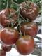 Семена томата эксклюзивного (высокорослого и низкорослого)
