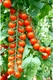 Семена томата - черри