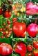 Семена томата высокорослого
