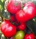 Семена томатов (помидор)