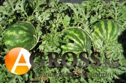 Семена арбуза Кримсон Свит - фото 3670