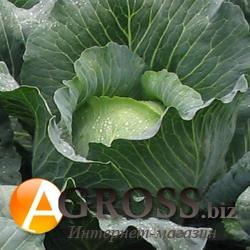Семена капусты Бронко F1 2500 шт - фото 3708