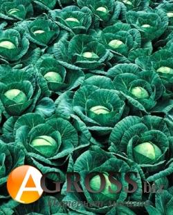 Семена капусты Ринда F1 2500 шт - фото 3711