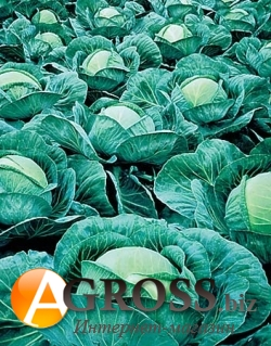 Семена капусты Атрия F1 2500 шт - фото 3714