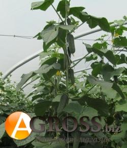 Семена огурца Темп F1 - фото 3757
