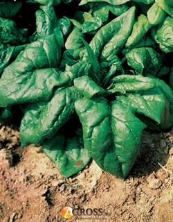 Семена шпината Лагос