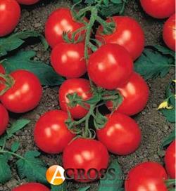 Семена томата Ричи F1 - фото 5569