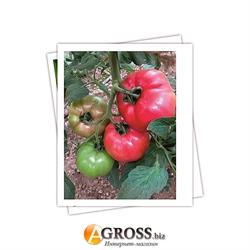 Семена томата Пинк Роуз F1 - фото 5601