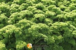 Семена петрушки кучерявой Астра - фото 5890