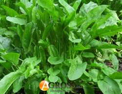 Семена щавель Широколистный (весовой) - фото 5959