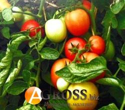 Семена томата Санька (весовой от 1 г) - фото 6064