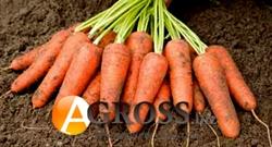 Семена моркови Карини - фото 6127