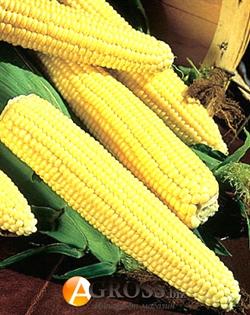Кукуруза суперсладкая Свит Наггет 5000 шт - фото 6138