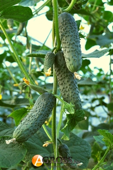 Семена огурца Лютояр - фото 6140