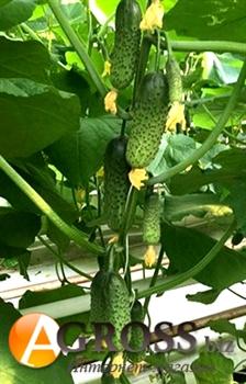 Семена огурца Кантара F1 - фото 6308
