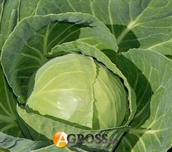 Семена капусты Миррор F1 2500 шт - фото 6414